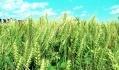 Фунгициды должны применяться при обнаружении первых признаков болезни в важнейшие фазы вегетации культуры