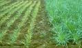 . У ранні періоди розвитку пшениці найбільш важливою умовою є наявність достатньої кількості доступного фосфору в верхньому 0-15 см шарі ґрунту, який в найбільшій мірі корелює з урожайністю зерна