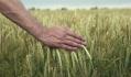 Нинішній рік хлібним навряд чи видасться. Якщо торік, за даними Мінагропроду житниця Європи зібрала рекордний у своїй історії урожай зернових - 66 млн т, то нині хоч би 60 т намолотити