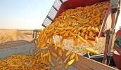 В поточному сезоні Україна може розраховувати на збільшення експорту кукурудзи в напрямку ЄС