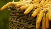 Потребность ЕС в украинской кукурузе подтверждается намереньем расширить беспошлинные квоты на ее поставку на 625 тыс. т