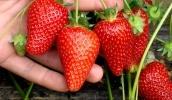 В Украине увеличиваются плантации под земляникой садовой