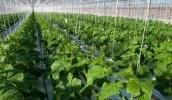 В Україні можуть різко поширитися вірусні захворювання тепличних овочевих культур, передусім пасльонових та огірків