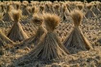 Є три вагомі причини для цілковитої відмови від спалювання соломи, яка використовується як джерело енергії в багатьох господарствах