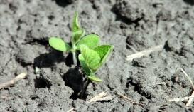 Зернобобовые. Первые ростки