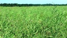 Ефективний захист ріпаку озимого від шкідників позитивно впливає на продуктивність рослин. Так, кількість стручків на одній рослині на оброблених інсектицидами варіантах була на 11,6-25,0% більша, ніж на контролі
