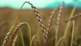 Спельта - одна из древнейших злаковых культур