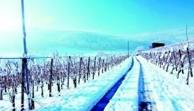 Виноградник взимку
