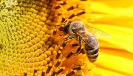 Через недостатню кількість запилювачів, іншими словами, бджолосімей, які трудяться на соняшникових полях, Україна щорічно недоотримує 1,4 млн т культури
