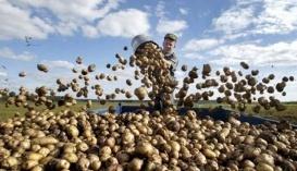 Росія в цьому році може недобрати 3 млн т картоплі. Основні причини скорочення збору - зменшення площ і погана погода