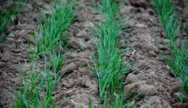 Маса зерна головного колоса в одностеблової рослини становила 1,33 г, а в чотиристеблової зросла до 2,45 г
