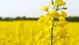 Україна витісняє австралійський ріпак з ринку ЄС