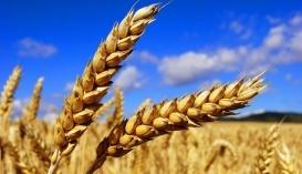 Україна почала експортувати пивоварний та органічний ячмінь