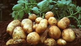 Картопля в Україні за рік стала дешевшою на третину