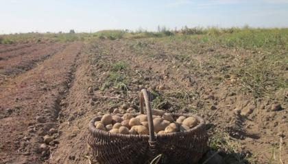 Картоплі, вирощеної в промислових умовах, дуже мало. 90% овоча забезпечує населення, яке в переважній більшості не мають відповідних умов для зберігання