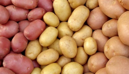 У сегмента української органічної картоплі на міжнародному ринку є всі шанси, адже, використовуючи такі природні добрива, як гній та компост, можна збільшити обсяги врожаю