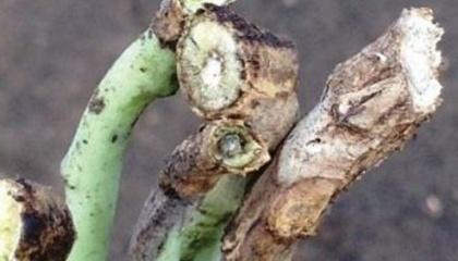 Количество инокулянта (оставшихся черных фракций в стерне, которое может повторно заразить урожай в следующем году) является самым высоким в течение одного года, когда выращивается рапс