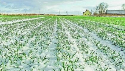 Найбільший вплив на життєдіяльність озимих культур в період зимівлі надають особливості агротехніки, морозостійкість і погода
