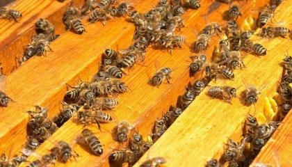 Пасічники України зіткнулися із новою проблемою: підгодовуючи бджіл цукром на зиму, ризикують їх втратити через неякісний солодкий пісок
