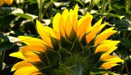 В Україні врожайність соняшнику розчаровує учасників ринку і продовжує погіршуватися в міру просування збиральної кампанії