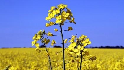 Рентабельность выращивания озимого рапса в Украине может достичь 83%, рентабельность подсолнечника ожидается на уровне 79%