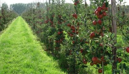 В интенсивных садах необходимо равновесие между вегетационными и продуктивными процессами