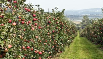 Цьгоріч садівники отримають чималу державну підтримку. Окрім наданих раніше 75 млн грн, уряд вирішив дати ще 224,3 млн