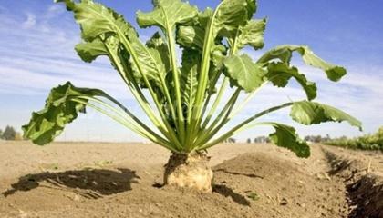 Лідерами по спадаючій посівних площ під цукровим буряком стали Полтавська і Кіровоградська області