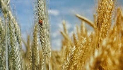 У Держпродспоживслужбі повідомили про фітосанітаний стан сільськогосподарських культур станом на 7 липня