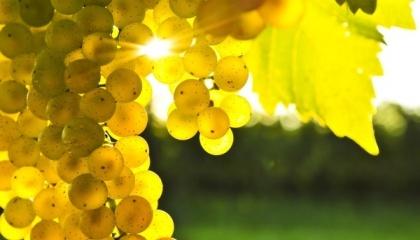 Мілдь та оїдіум - найпоширеніші хвороби винограду. Але від них можна захиститися