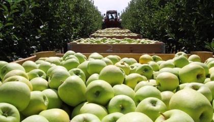 Яблука Голден, які є одними з найдорожчих в Україні серед інших популярних сортів, подорожчали майже в 1,5 рази