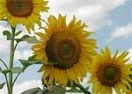 Ефективність регуляторів росту рослин на посівах соняшнику фото, ілюстрація