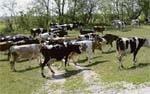 Високопродуктивні корови мають жити довго фото, ілюстрація