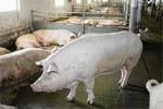 Утримання та годівля  холостих і поросних свиноматок фото, ілюстрація