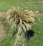 Пшениця+Жито = Тритикале Нові сорти рекомендовані для вирощування на території України фото, ілюстрація