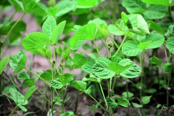 Інокуляція та інкрустація насіння сої. Технології застосування і ринок препаратів фото, ілюстрація