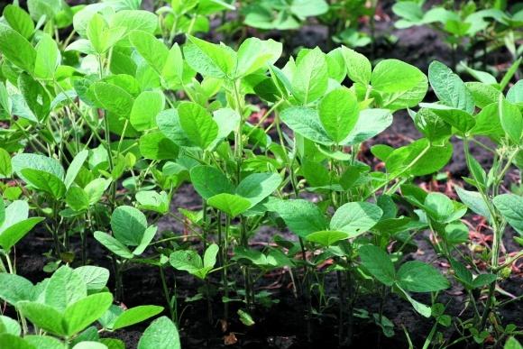 Соя и кукуруза — оптимальный севооборот или истощение почвы? фото, иллюстрация