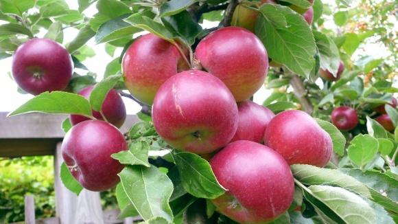 Червиця в'їдлива — небезпечний шкідник яблуневих насаджень фото, ілюстрація