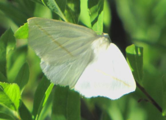 Інтегрована система захисту багаторічних насаджень від американського білого метелика фото, ілюстрація