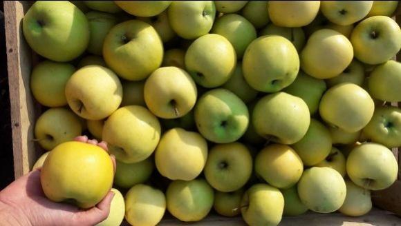 Вирощування яблунь кращих сортів на підщепі 54–118 фото, ілюстрація
