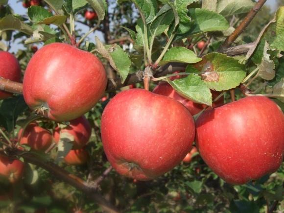 Основи підживлення інтенсивних насаджень яблуні та інших зерняткових культур фото, ілюстрація