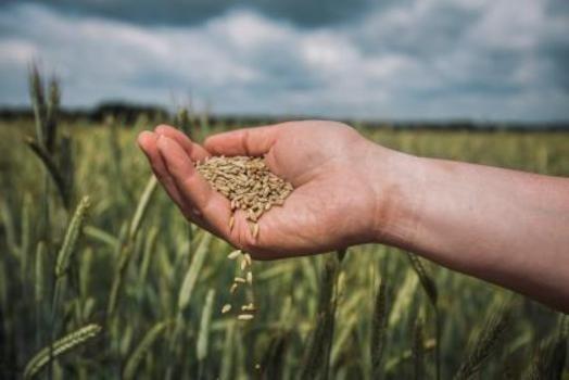 Гібридне жито – нішева культура, яка дозволить заробити на піщаних ґрунтах фото, ілюстрація
