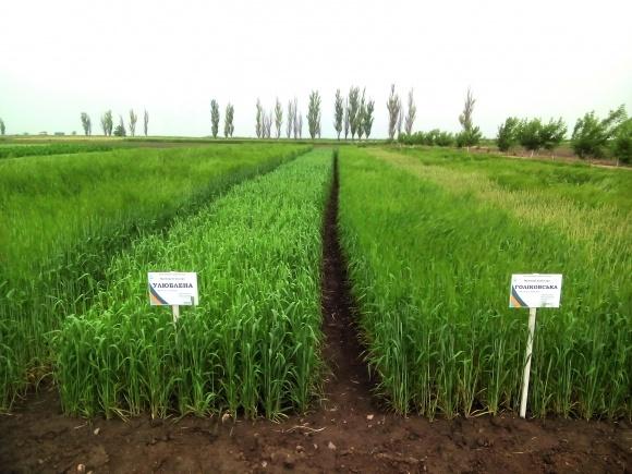 Кращі сорти ярої пшениці для Степової зони фото, ілюстрація