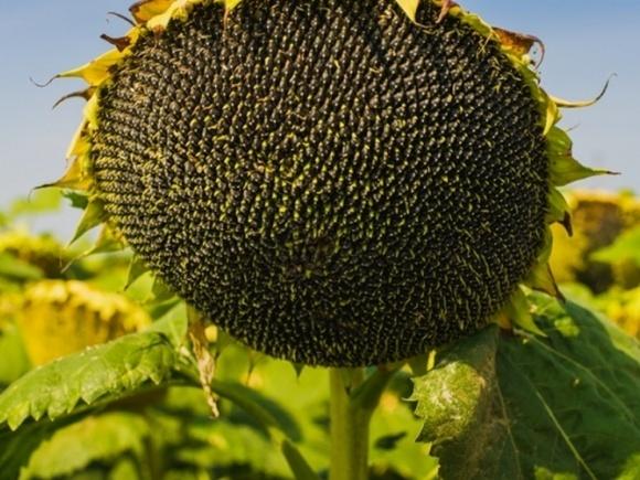 Удобрення соняшника: досвід Середнього Заходу фото, ілюстрація