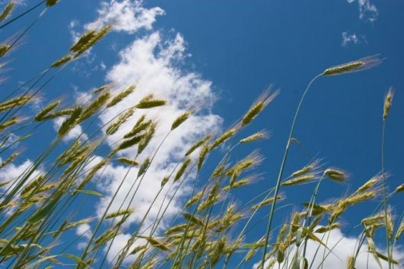 Застосування амінокислот у позакореневому живленні зернових фото, ілюстрація
