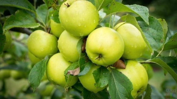 Яблоневая плодожорка на Юге Украины: меры борьбы  фото, иллюстрация