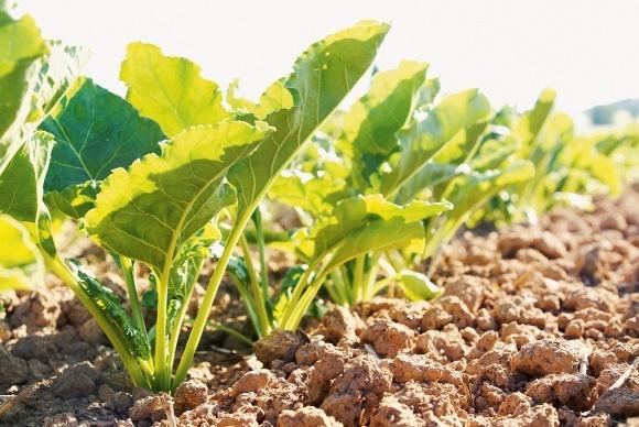 Возделывание сахарной свеклы - помощник агронома 48