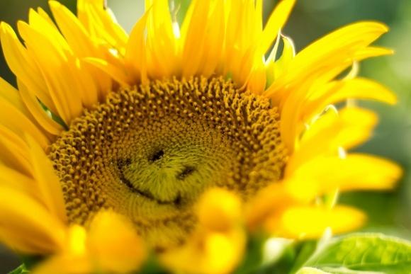 Аграрії не очікують високих врожаїв соняшника фото, ілюстрація