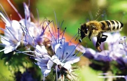 В Україні почастішали випадки масових отруєнь бджіл після хімобробок полів фото, ілюстрація