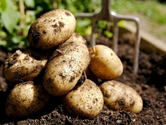 Финансовое положение картофелеводов ухудшилось, - Н.Гордийчук фото, иллюстрация